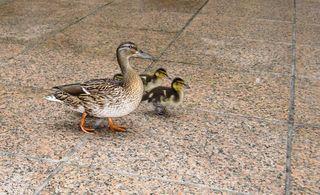 Ducks 8