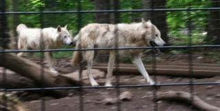 Wolves 1 low rez